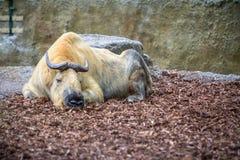 Złoty takin w zoo, Berlin Obraz Royalty Free