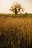 Złoty trawy pole Obrazy Royalty Free