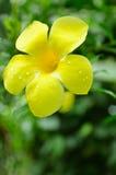 Złoty tubowy kwiat Fotografia Stock