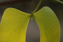 Złoty zielony mopani Zdjęcia Stock