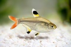 Złotych pristella Pristella tetra maxillaris Radiologiczna tetra ryba na bielu Obraz Royalty Free