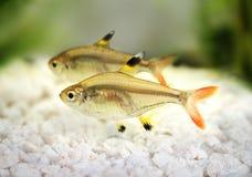 Złotych pristella Pristella tetra maxillaris Radiologiczna tetra ryba na bielu Zdjęcie Stock