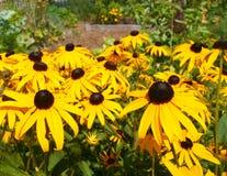 z podbitym okiem kwiaty Susan Obraz Royalty Free