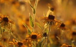 Z podbitym okiem Susan Fotografia Stock