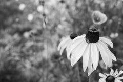 Z Podbitym Okiem Susan kwiat z kolcolist osłony pluskwy boginką zdjęcia stock