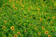 Z podbitym okiem Susan kwiatu pole Zdjęcia Royalty Free