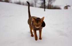 Z podnieceniem abyssinian kot w zimy odzieżowym odprowadzeniu w zima parku Obraz Stock
