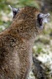 z powrotem concolor cougar felis. wiem, że jesteś, Fotografia Stock