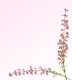 Z różowymi kwiatami wrzosu sprig Zdjęcia Royalty Free