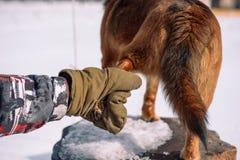 Z rodziny psów łapa Nogi pies Domowi Pitolmets stojaki na swój ciekach Bierze zwierzę domowe łapę obrazy stock