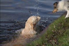 Z rodziny psów pływacki instruktor Obrazy Royalty Free