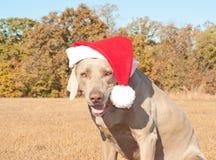 z rodziny psów pomagiera humorystyczny wizerunek mały s Santa Obrazy Stock
