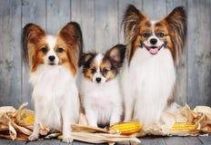 Z rodziny psów rodzina, mama, tata i szczeniak, Obrazy Stock