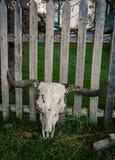 Z rogami krowy czaszka Zdjęcia Stock