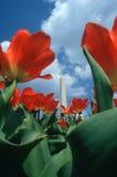 Z Tulipanami waszyngtoński Zabytek Obrazy Royalty Free