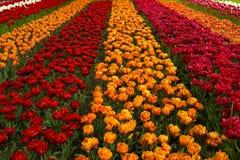 Z tulipanami wiosna pole Fotografia Stock