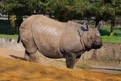 z ukosa azjatykcia przyglądająca nosorożec Obrazy Stock