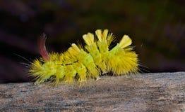 Z włosami gąsienica 6 Fotografia Stock