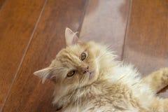 Z włosami zwierzę domowe kot kłaść na swój stronie i patrzeje ja obraz stock