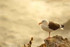 z widokiem na ocean califo plażowy umieszczonego scenariusz mewa rock Zdjęcia Royalty Free