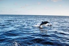 Z wody delfinu doskakiwanie Obraz Royalty Free