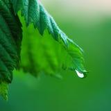 Z wody kroplą zielony liść obrazy stock