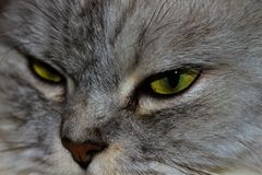 zły kot Obraz Stock