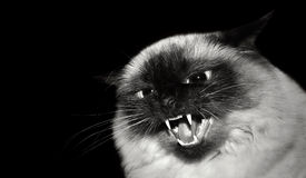 zły kot Fotografia Royalty Free