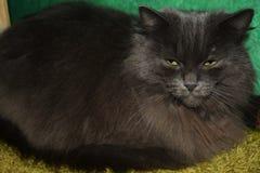 Zły szary kot Obrazy Royalty Free