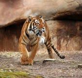 zły tygrys Zdjęcie Stock