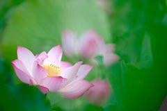 Z zielonym tłem Lotosu ładny kwiat Zdjęcie Stock