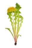 Z zielonymi liść żółty dandelion zdjęcia stock