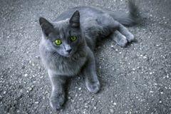 Z zielonymi oczami szary kot zdjęcie stock