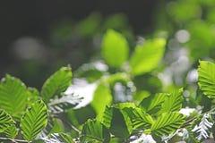 Zaświeca, ocienia i zielenieje, liście, plecy zaświecający Zdjęcie Stock