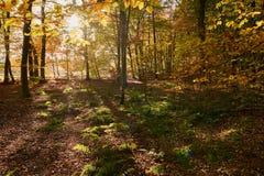 Zaświeca zalewającą jesień forrest blisko Haltern w NorthrheinWestphalia w Niemcy Obraz Stock