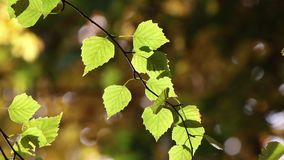 Zaświecający brzoza liście na wiatrze zdjęcie wideo