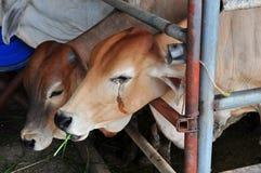 Łza krowa Zdjęcie Royalty Free