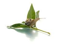 za przyglądającym liść ślimaczkiem Zdjęcie Stock