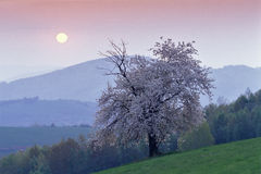 za słońca czereśniowym powstającym drzewem Obraz Royalty Free