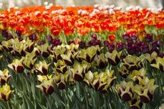 Za?wiecaj?cy s?o?cem z pi?knymi kolorowymi tulipanami w wio?nie fotografia royalty free