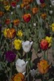 Za?wiecaj?cy s?o?cem z pi?knymi kolorowymi tulipanami w wio?nie zdjęcie stock