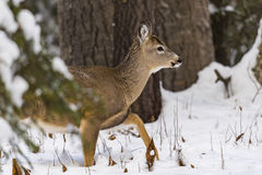 za wieczór jelenim domem ilustracyjny nowy s mały drzew zima rok Obraz Stock
