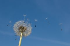 Zaad van de de aard het blauwe hemel van de Dendelionbloem royalty-vrije stock fotografie