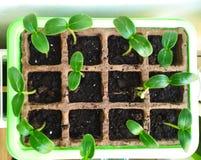 Zaadgerminatie, de installatie van de Zaailingenkomkommer Selectief close-up van groene zaailing royalty-vrije stock foto
