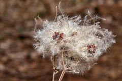 Zaadhoofden met zijdeachtige aanhangsels van de Wilde Climatis-clematissenvitalba of vreugde van de reiziger in de vroege lente stock foto's
