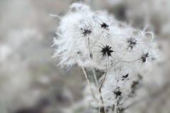 Zaadhoofden van Clematissen in de winter, exemplaarruimte royalty-vrije stock afbeeldingen