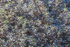 Zaailing en het groeien mangrovebos Stock Afbeeldingen