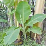 Zaailing en installatie van banaan Stock Foto