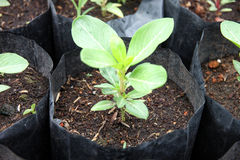 Zaailing het groeien in de zwarte zak. Stock Foto