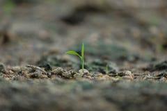zaailing het groeien sterk in organische grond jonge groene installatie met twee bladeren, het jonge boompje 22 van de Aardedag A stock fotografie
